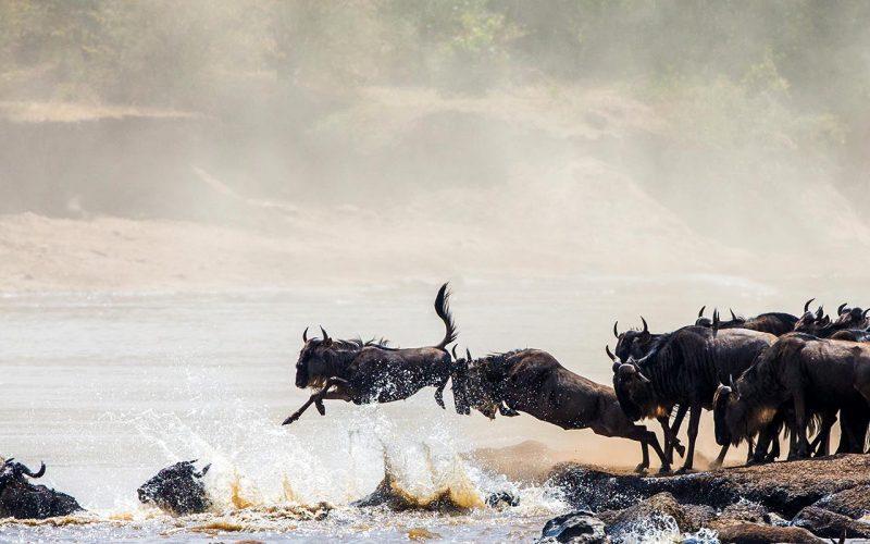 jt-safaris-julius-t-safaris-wildebeest-14